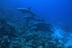 Bottlenose dolphins. In the red sea Royalty Free Stock Photography