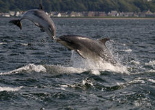 Bottlenose Dolphins. Bottlenose Dolphin, Chanonry Point, Scotland, Marine mammal stock photo