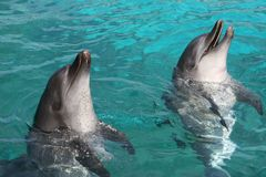 Bottlenose Dolphins Royalty Free Stock Photo