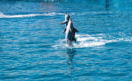 Bottlenose dolphins in aquarium Stock Photo
