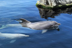 Bottlenose dolphins Stock Image