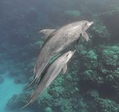 Bottlenose dolphins family mother and baby swimming underwater. In the sea near the coral reef Royalty Free Stock Image