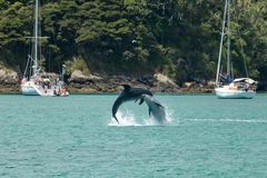 Bottlenose Dolphins Jumping Together In New Zealand. Bay of islands new zealand, near russell and paihia. Dolphins playing in ocean royalty free stock photos
