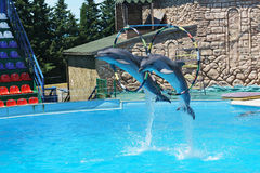 Bottlenose dolphins are large dolphins, or bottlenose dolphins lat. Tursiops truncatus jumping through hoops at the command perf royalty free stock photos