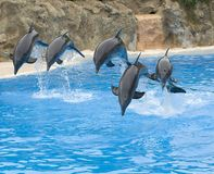 Bottlenose Dolphins leaping over a rope Stock Images