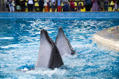 Of bottlenose dolphins perform in the pool Royalty Free Stock Photography