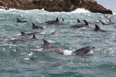 Bottlenose Dolphins in Rough Seas in Indian Ocean. A large pod of bottlenose dolphins swim through choppy waters in the Indian Ocean near Port Elizabeth, South Royalty Free Stock Images