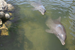 Bottlenose Dolphins Swimming Stock Photography