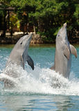 Bottlenose Dolphins Tail Walk Stock Image