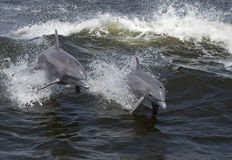 Bottlenose Dolphins (Tarsiops truncatus) Stock Photo
