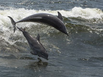 Bottlenose dolphins (Tursiops truncatus) Stock Photography