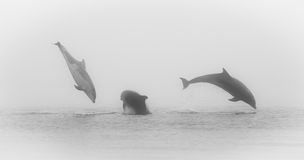 Bottlenose Dolphins (Tursiops truncatus) Through t Royalty Free Stock Photos