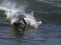 Bottlenose Dolphins (Tursiops truncatus) Royalty Free Stock Photography