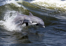 Bottlenose Dolphins (Tursiops truncatus) Royalty Free Stock Photos