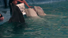 Bottlenose dolphins and two beluga whales sing. Dolphins and two beluga whales sing stock footage