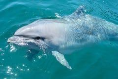 bottlenosed特写镜头海豚 免版税库存照片