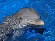 Bottlenosed Dolphin. S are known for their smile, but there is a reason that lower jaw protrudes Stock Photos