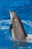 bottlenosedelfin royaltyfri bild