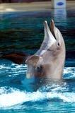 bottlenosedelfin Fotografering för Bildbyråer