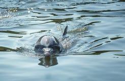 Bottlenosedelfin, enförkroppsligad delfin med en distinkt kort näbb royaltyfri fotografi