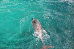 Bottlenosedelfin i grönt vatten Fotografering för Bildbyråer