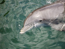 Bottlenosedelphin stockfotos