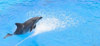 Bottlenosedelphin, der vom blauen Wasser springt Lizenzfreie Stockfotografie