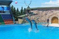 Bottlenosedelphine sind große Delphine oder Bottlenosedelphine Lat Tursiops truncatus, das durch das Band auf dem performan sprin Stockfotografie