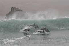 Bottlenosedolfijnen die in de golven van Chilca-Strand springen, zuiden van Lima, Peru stock foto's