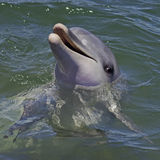 Bottlnose Dolphin. A Bottlenose Dolphin with its'head out of the water Royalty Free Stock Photos