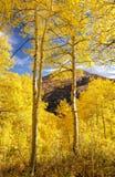 Bottom Aspen Glow. Aspens glow in the sun on a mountain Stock Photos