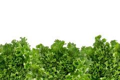 Bottom border of crisp fresh lettuce Stock Image