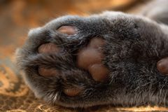 Bottom of the cat`s paw. Close up view on cat`s paw pads. Brown pads and grey fur stock photography