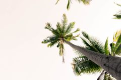 Bottom of coconut tree and white sky background.forest and environment concept. Adventurebackgroundbeautifulbigblurredbottom viewbottom forestbottom royalty free stock photos