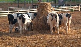 The bottom of cows Stock Photos