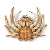 Bottom of a fresh raw female spider crab. On white background Stock Photos