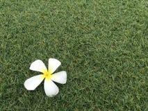 Bottom left Plumeria flowers on green lawns. Plumeria flowers on green lawns with light and copyspace Stock Photography