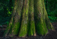 The bottom of the mossy trunk of a tree in the forest Royalty Free Stock Photography