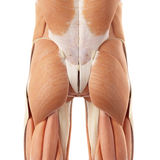 The bottom muscles. Medically accurate illustration of the bottom muscles stock images