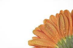 Bottom of an orange flower. Dewed bottom of an orange flower Stock Photo