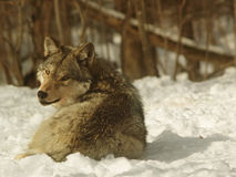Bottom of the pack. Subservient wolf of pack, Canada Royalty Free Stock Photography