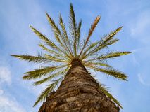 Bottom point of view up of sunlit phoenix date palm tree royalty free stock photos