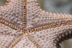 Bottom of Red Cushion Sea Star Starfish. Bottom Side of Red Cushion Sea Star Starfish on Coral Reef off Long Key, Florida Keys, Florida royalty free stock photos