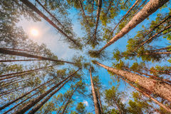 Bottom Right Angle View Of Tall Thin Pines, Summer Pinewood, Blue Sky Royalty Free Stock Images