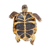 Bottom of a Russian Tortoise Royalty Free Stock Photos