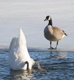 Bottom's Up. Swan shows the hind end to the interested goose - or feeding while a goose look on Stock Image