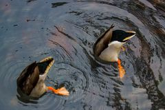 Bottom`s up: ducks at the garden. Ducks going bottom`s up at the Wellington Botanic Garden in Wellington New Zealand Royalty Free Stock Photo