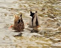 Bottom's Up. Male and female mallard ducks diving for food Stock Photos