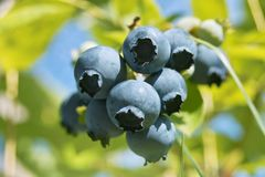 Bottom Side of Blueberries Royalty Free Stock Images