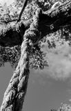 Isoled heavy rope note seen on a tree, looking like part of a hangman`s noose. royalty free stock image